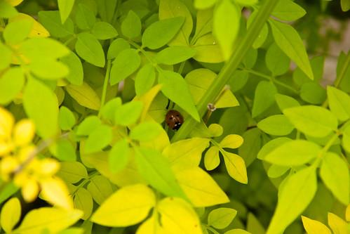 Ladybird in jasmine