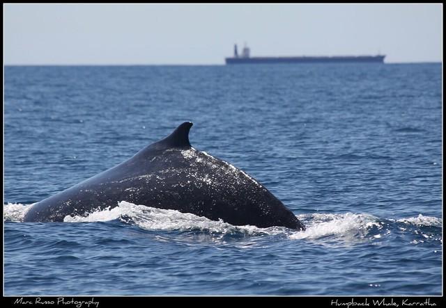 Humpback Whale, Karratha