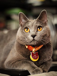 Chartreux Cat Breed - Evie II