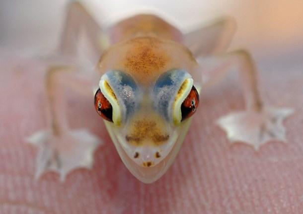 Palmato Gecko