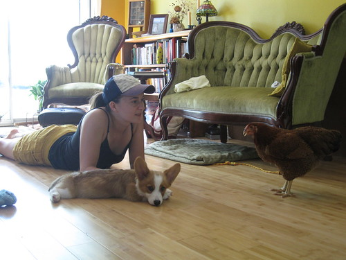Broody BB catches some AC and Pocket wonders why there's a chicken in the house