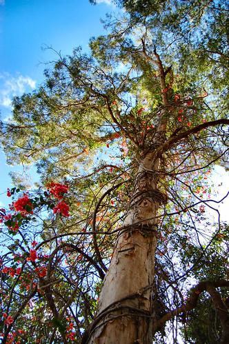 dream tree - Cardwell pre cyclone.