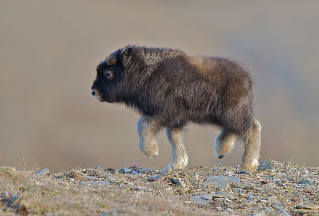 http://twistedsifter.com/2013/08/look-at-this-baby-muskox/