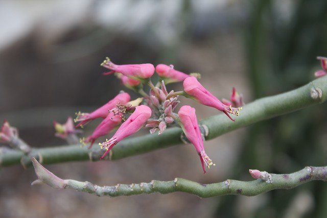 "Flowering Pedilanthus tithymaloides variegata ""Variegated Devil's Backbone"" (Florida, Mexico)"