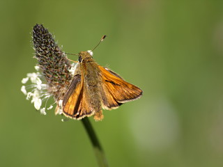 Large Skipper (Ochlodes sylvanus) by rhonddawildlifediary, on Flickr