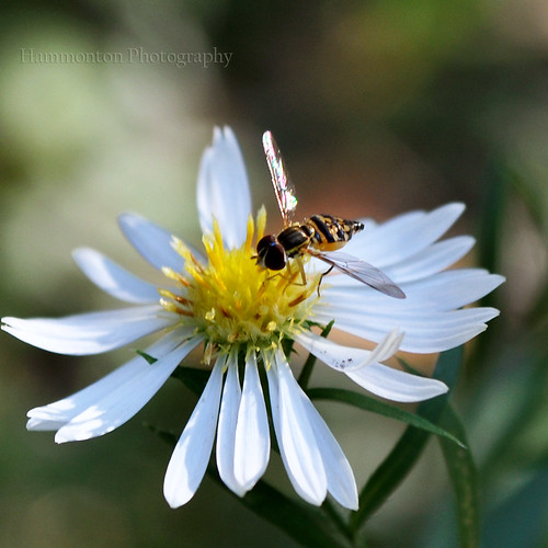 Hover flies insect