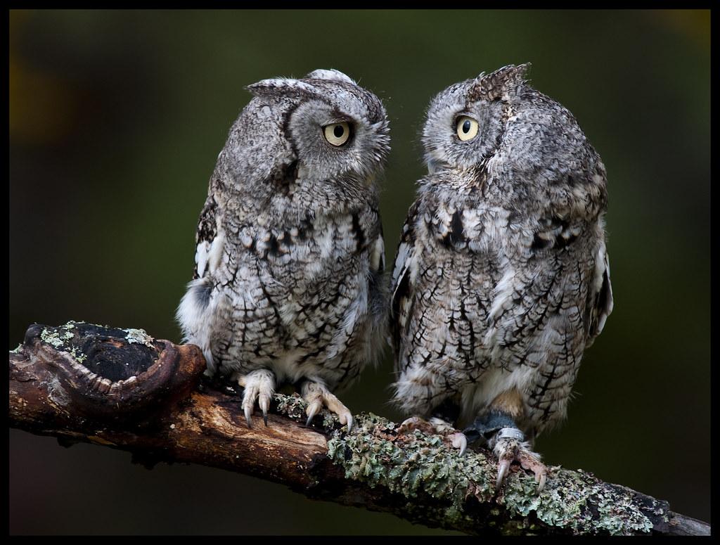 Eastern Screech Owls 6