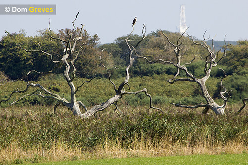 Osprey perched in dead tree