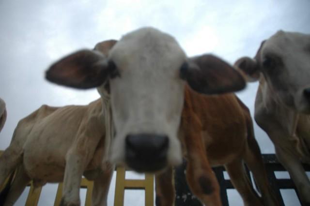 gentleness  - the calf instinct