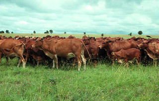 Boran cattle at Kapiti ranch in Kenya