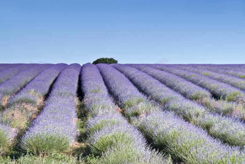 Lavender Fields Snowshill Cotswoulds England