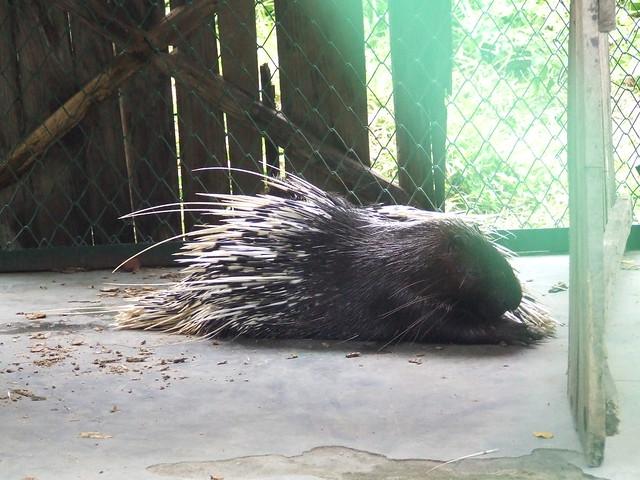 A common hedgehog