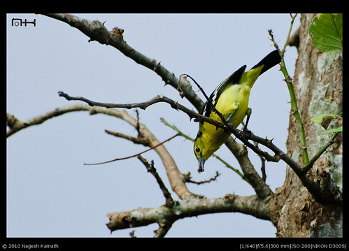 Common Iora (female) with feed | Bhadra Wildlife Sanctuary