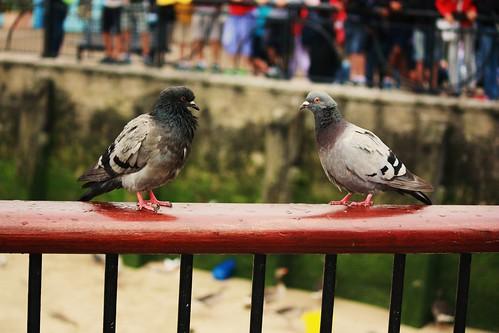 Pigeon Conversation
