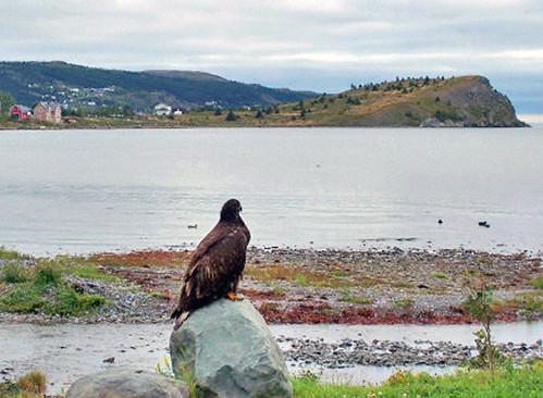 Bald Eagle Chick - Patrol