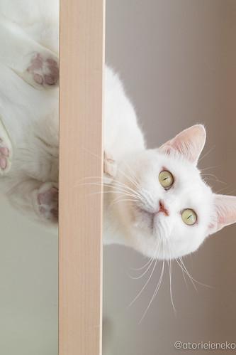 アトリエイエネコ Cat Photographer 34572638226_bf84bf04e3 保護猫カフェ カーラ・キャット・カフェ