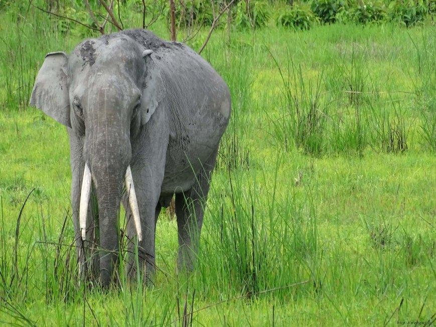 A Wild Tusker, Kaziranga National Park