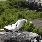 Viajefilos en La Espanola, Galapagos 056