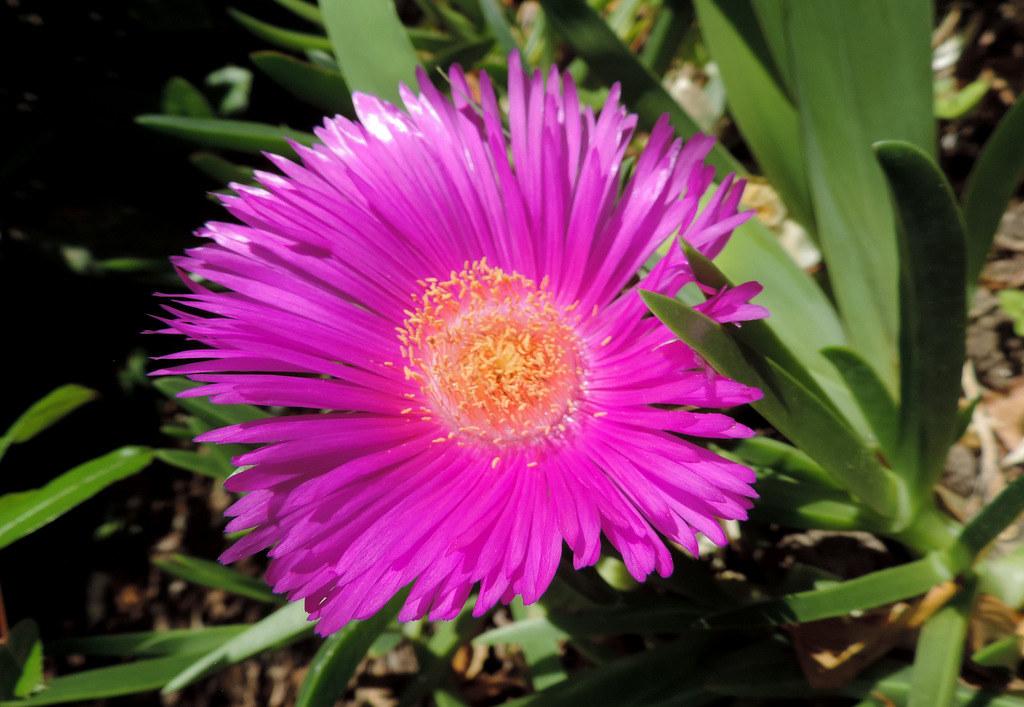 Fleur de la griffe de Sorcière