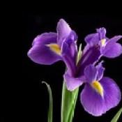 Royal_Purple_Iris_Wallpaper_f181