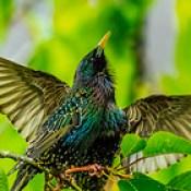 Starling, Mating