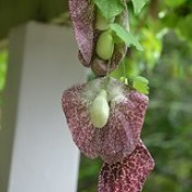 Giant Aristolochia flowers hang in preposterous color and texture!