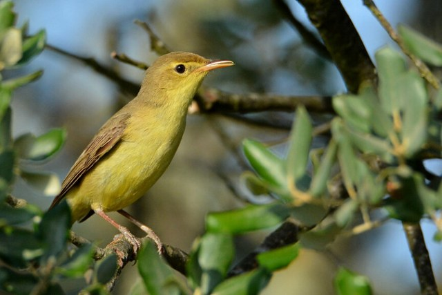 Felosa-poliglota, Melodious warbler (Hippolais polyglotta)