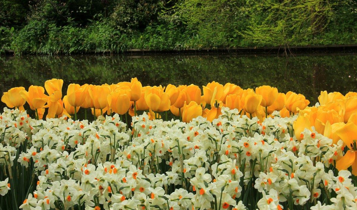 #travelbloggerindia #visitholland #tulipsholland #hollandtourism #keukenhofgarden