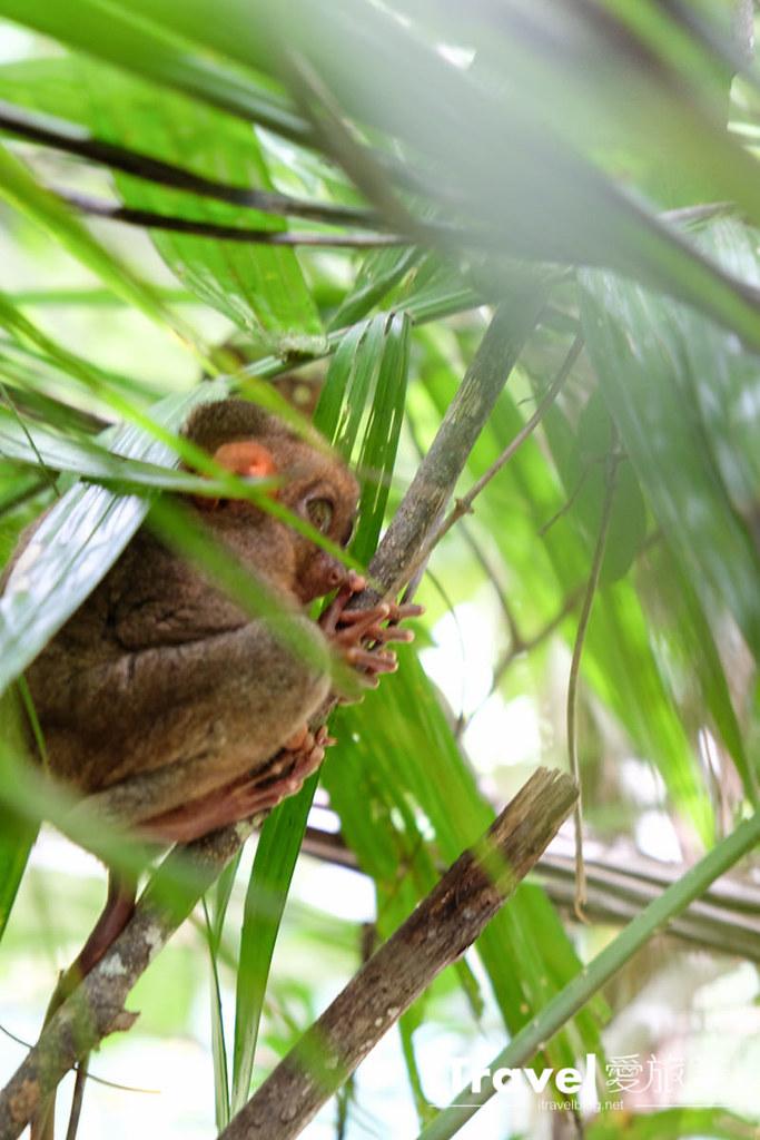 菲律宾薄荷岛眼镜猴保育中心 Tarsier Sanctuary (21)