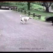 VIDEO: Un valiente perro labrador expulsa a una osa de una ciudad estadounidense