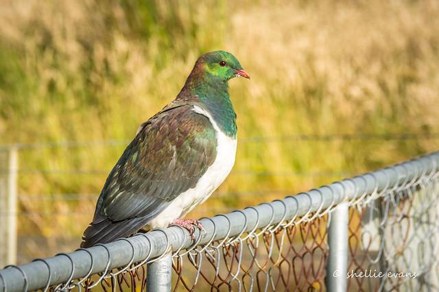 Kereru/New Zealand Wood Pigeon, Waikawa