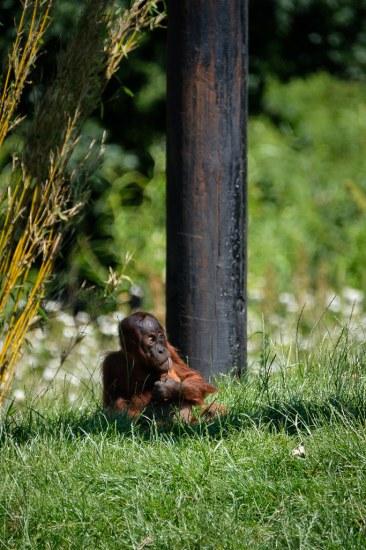 Thoughtful Orangutan