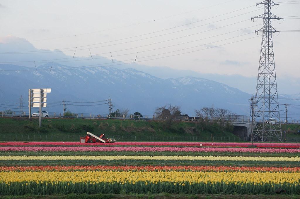 Tonami Tulip Gallery