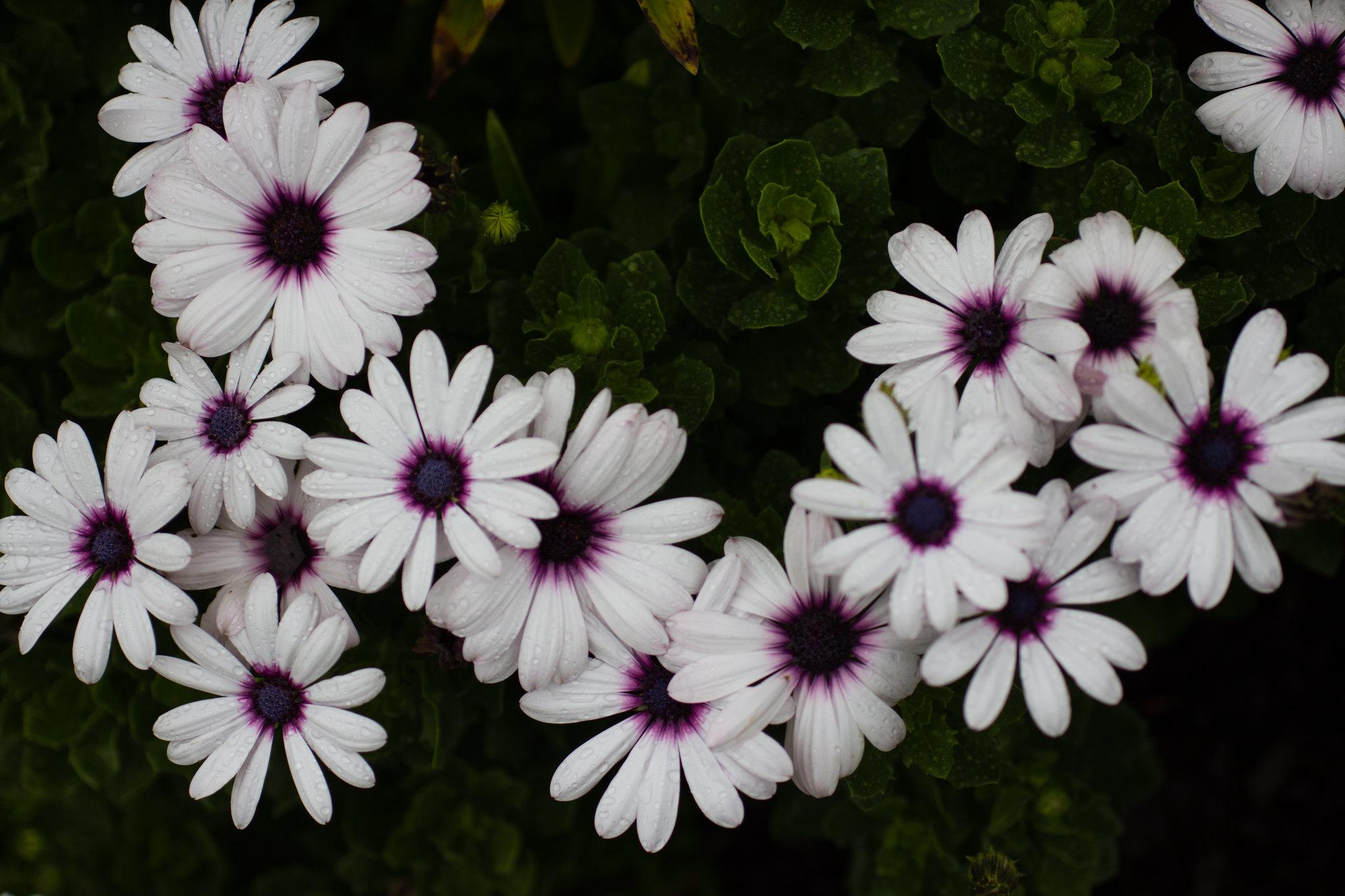 spray of purple daisies