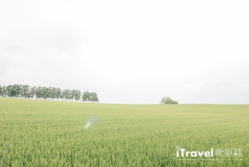 《北海道自驾游》拼布之路七星之丘 Mild Seven Hills:经典香烟广告景点,眺望麦田片片的辽阔景色