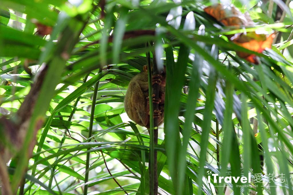 菲律宾薄荷岛眼镜猴保育中心 Tarsier Sanctuary (9)