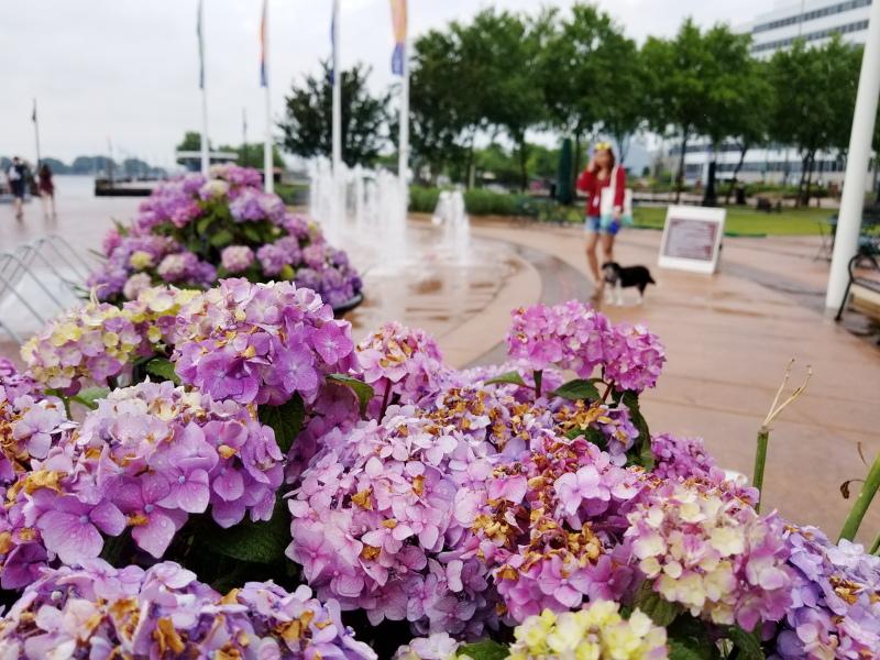 norfolk-waterside-hydrangeas-flowers-20