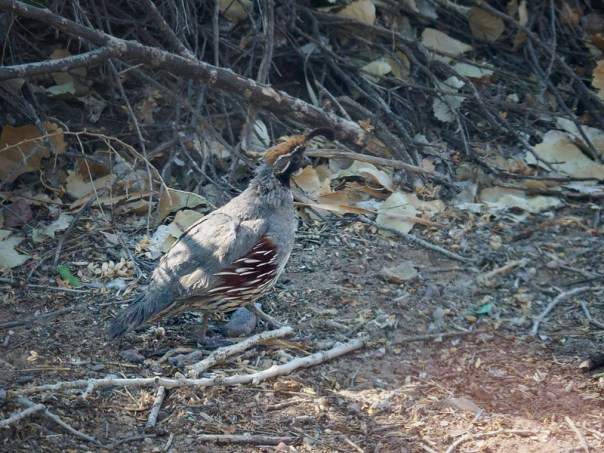NM birds: Gambel's Quail