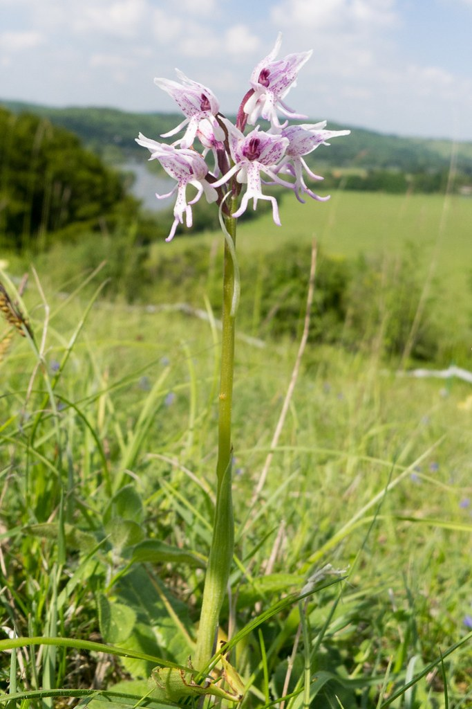 Monkey Orchid at Hartslock Nature Reserve, Oxfordshire