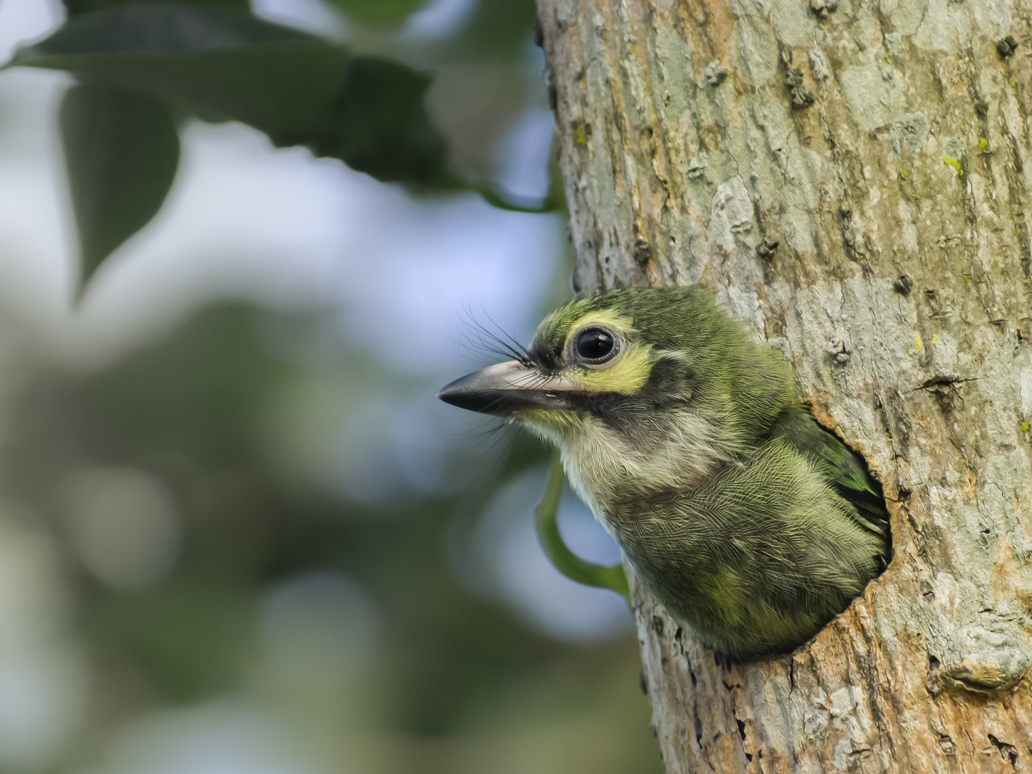 Juvenile coppersmith barbet