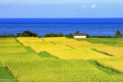 Rice paddy~Hualien~花蓮~黃金稻田