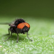 Flat footed fly