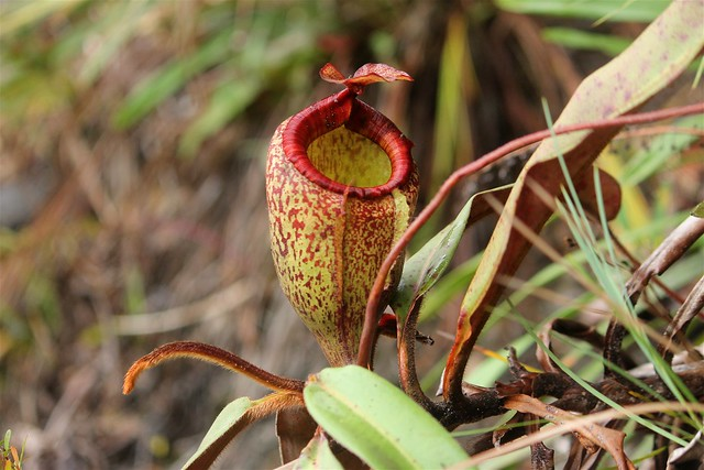 Nepenthes peltata