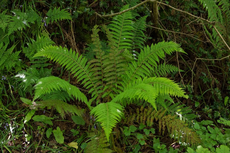 Male Fern at Kilwood Nature reserve, Dorset