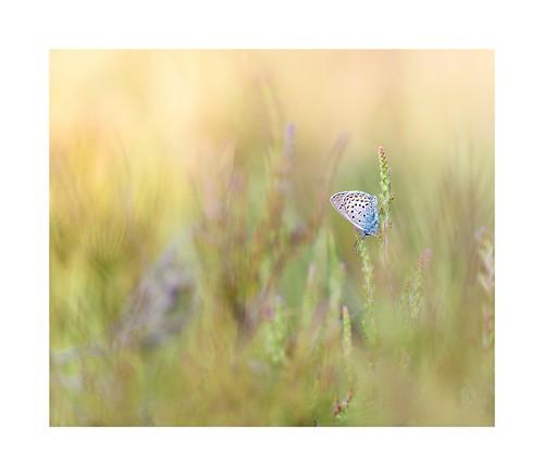 Silver studded blue on the heath