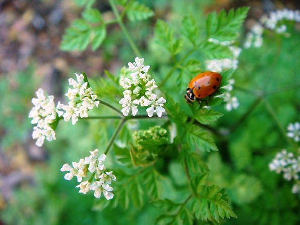 12 Plants That Attract Ruthless Good Bugs | Hort Zone