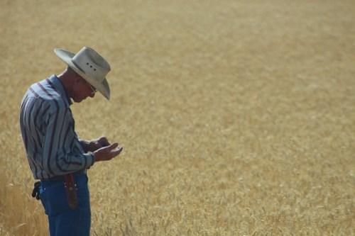 Farmer Don, checking wheat heads.