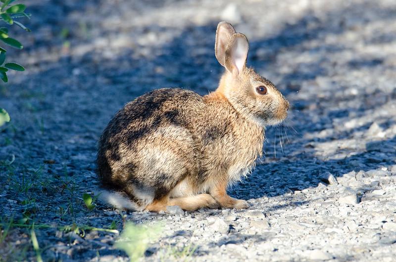 DSC_4733 Hare