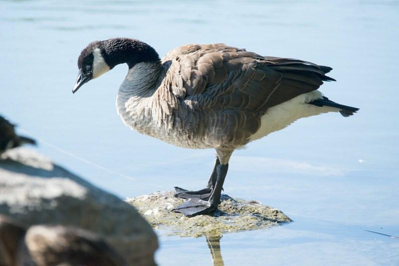 _DSC7886 Canada Goose