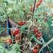 Snack-Tomate Romello F1